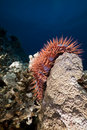 Crown-of-thorns starfish in the Red Sea. Stock Image