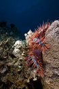 Crown-of-thorns starfish in the Red Sea. Stock Photo
