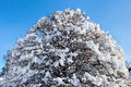 Crown of a tree covered with snow Stock Photography