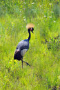 Crowned African Crane Royalty Free Stock Images