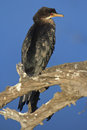 Crowned cormorant fishing in south african reserve Stock Photo
