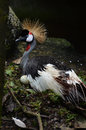 Crowned Crane or African Crowned Crane Royalty Free Stock Photo