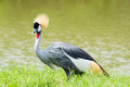 Crowned crane african in nature live in the plains west side of africa Royalty Free Stock Images