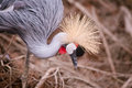 Crowned crane close up horizontal Royalty Free Stock Photo