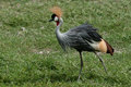 Crowned Crane Kenya Africa Stock Images