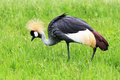 Crowned crane in safari wold walking a meadow bangkok thailand Royalty Free Stock Image
