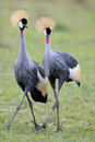 Crowned-Cranes courtship Stock Photos