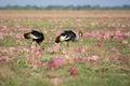 Crowned Cranes In Pink Flowers