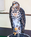 Crowned eagle is a large bird of prey Royalty Free Stock Photo