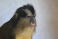 Crowned guenon Royalty Free Stock Photo