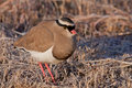 Crowned Lapwing Royalty Free Stock Image