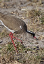 Crowned Lapwing - Botswana Royalty Free Stock Photography