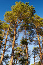 Crowns of Scots or Scotch pine Pinus sylvestris trees against blue sky. Group of tall pine trees growing in evergreen wood. Royalty Free Stock Photo