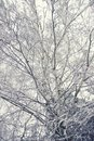 Crowns and tree branches covered with snow against the sky. Winter sunny frosty day. White blue background. Bottom view Royalty Free Stock Photo