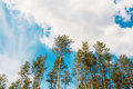 Crowns treetops of tall thin slender evergreen pines under cloud cloudy spring summer blue sky welkin background Stock Images
