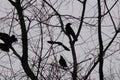 Crows Stock Photos