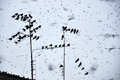 Crows flock Royalty Free Stock Images