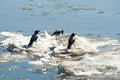 Crows on ice the during floating flow the river Stock Image