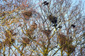 Crows nesting a colony of in treetops of old oak and beech trees Stock Photos
