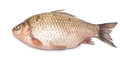Crucian carp fish isolated on white background Royalty Free Stock Photography