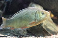 The crucian carp in water Royalty Free Stock Images
