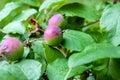 Crude crabapple fruit on green tree branch in garden Stock Photos