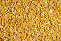 Crumble corns of fodder maize on suuny day Royalty Free Stock Photo