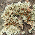 Crusty lichen algae texture growing on a rock Stock Images
