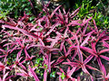Cryptanthus elaine in star shape pink and white striations Stock Image