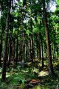 Cryptomeria forest in Reunion Island. Japanese trees. Royalty Free Stock Photo
