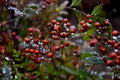 Crystal raindrops on berries red fruit of a vine bush holding after a fall rain Royalty Free Stock Photo