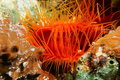 Ctenoides scaber flame scallop and its tentacles underwater creature close up of bivalve mollusk caribbean sea Royalty Free Stock Image