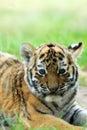 Cub σιβηρική τίγρη Στοκ εικόνες με δικαίωμα ελεύθερης χρήσης