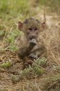 Cub of an olive baboon taken in amboseli national park of kenya Stock Image