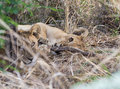 Cub playing with a stick lion lying on it s side his brother looking Stock Images