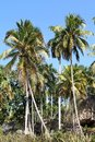 Cuba baracoa coconut palm trees natural landscape Stock Image