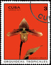 CUBA - CIRCA 1971: Postage stamp printed in Cuba shows orchid Cypripedium callossum, series orchids Royalty Free Stock Photo