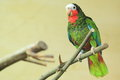Cuban amazon the adult parrot sitting on the perch Royalty Free Stock Photography