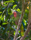 Cuban Amazon Parrot Royalty Free Stock Photo