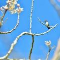 Cuban Bee Hummingbird (Mellisuga helenae)