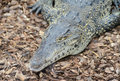 Cuban Crocodile closeup Royalty Free Stock Photo