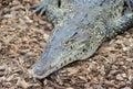Cuban Crocodile closeup Royalty Free Stock Photo