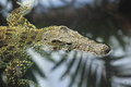 Cuban crocodile the detail of in water Royalty Free Stock Photo
