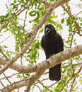 Cuban crow on a tree the corvus nasicus has typically like appearance it s voice however resembles the one of the parrots Stock Photo
