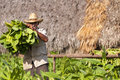 Cuban farmer shows the harvest of tobacco field vinales cuba Royalty Free Stock Image