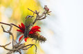 Cuban Green Woodpecker with red flowers Royalty Free Stock Photo