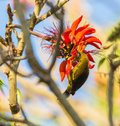 Cuban oriole feeding on red flowers a female icterus melanopsis feeds this is a endemic species to the island of cuba Stock Images