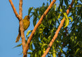 Cuban oriole a female icterus melanopsis perches on a tree Royalty Free Stock Photos