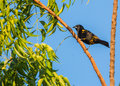 Cuban oriole a male icterus melanopsis perches on a tree Royalty Free Stock Image