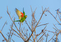 Cuban Parakeet in flight Royalty Free Stock Photo